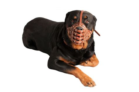 brown rottweiler rottweiler leather muzzle secure basket studded brown
