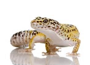 paws 187 leopard gecko