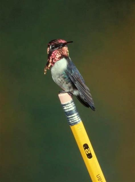 best 25 bee hummingbird ideas on pinterest hummingbird