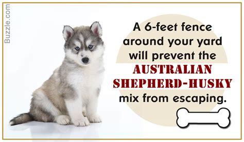 australian shepherd husky mix puppies amazing information about the australian shepherd husky mix breed
