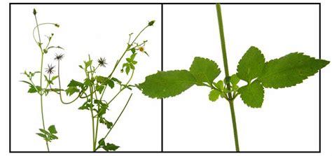 Kancing Bungkus N Flowers On Black N White dadayem bidens pilosa bur marigold philippine medicinal herbs philippine alternative medicine
