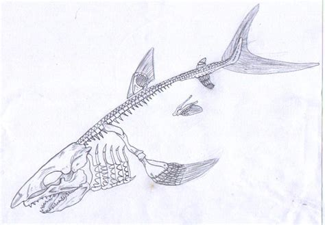 shark skeleton drawing www pixshark com images