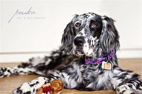 irish setter dog accessories english setter puppy ryman blue belton english setters