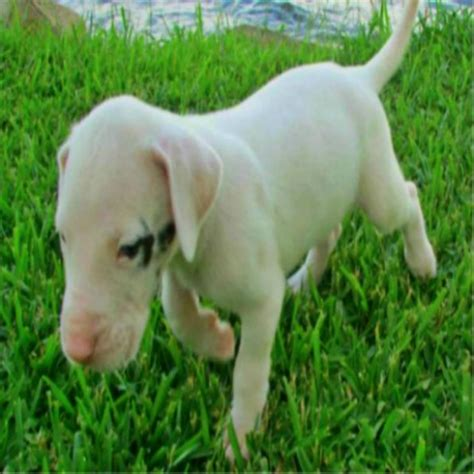 great dane puppies in michigan great dane puppies handmade michigan