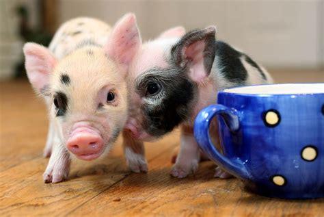 grown teacup grown teacup pigs wallpaper