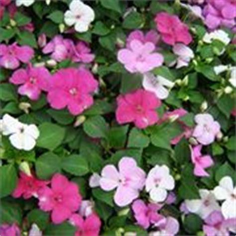 fiore nuova guinea impatiens nuova guinea fiori in giardino imaptiens