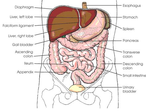 diagram of stomach abdominal organs diagram search anatomy