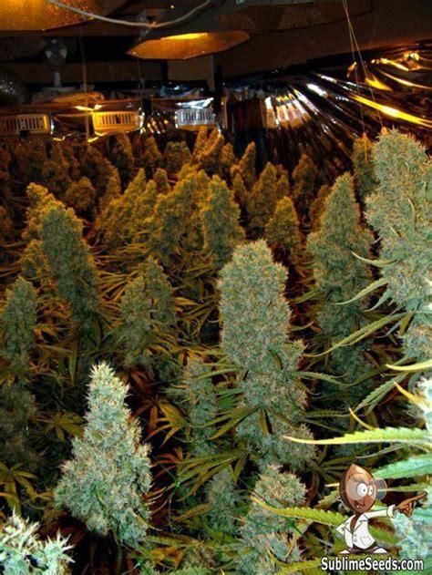 huge colas indoor medical marijuana grow indoor grow