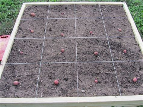 piantare patate in vaso piantare patate ortaggi consigli per piantare le patate