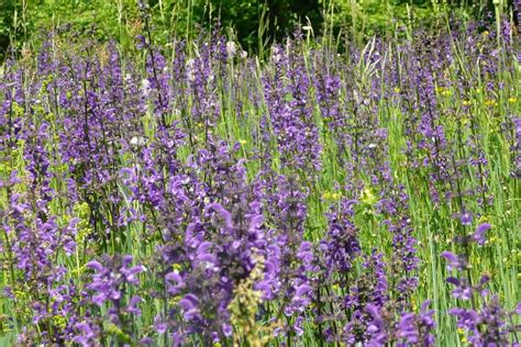 salvia plant types growing information and care of salvia