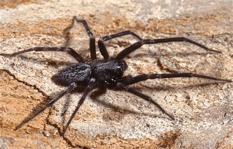 black house spider spiders