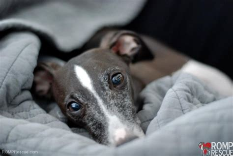 greyhound puppies for adoption nebraska italian greyhound rescue italian greyhound puppies design bild