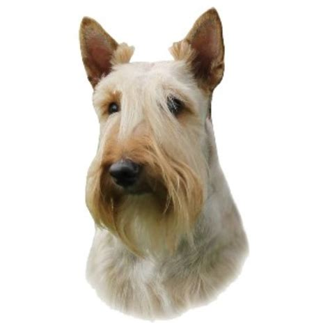 scottish terrier puppies for sale near me scottie dogs for adoption in uk breeds picture