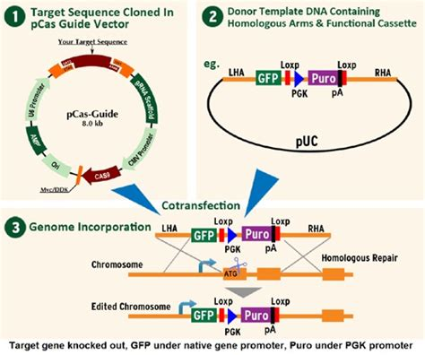 Introducci 243 N A La Tecnolog 237 A Crispr Cas9 Abyntek Biopharma Crispr Repair Template