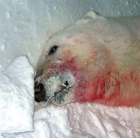 imagenes fuertes reales oso polar destroz 243 a una mujer fotos fuertes dogguie