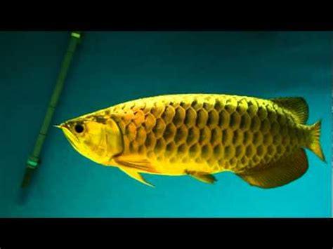 24k gold arowana fish wholesale suppliers in baltimore