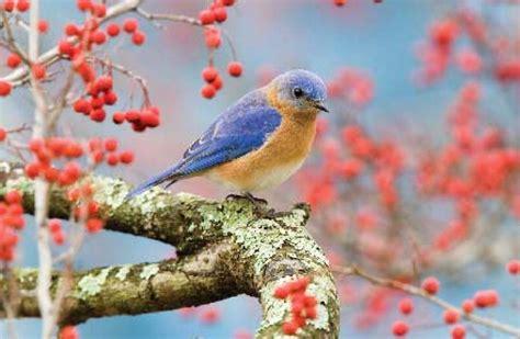 wild birds unlimited unusual bluebird behavior