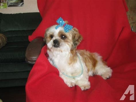shih tzu puppies for adoption in nj adorable shih tzu puppies for free adoption dogs for sale breeds picture
