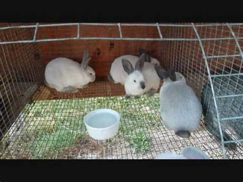backyard meat rabbits breeding rabbits faq doovi