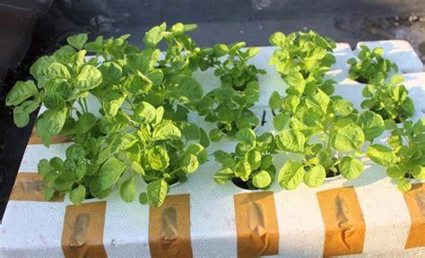 Bibit Bayam cara menanam bayam hidroponik di pekarangan rumah