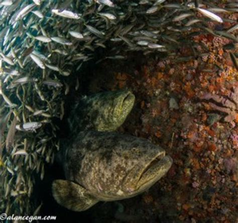 september 7th, 2013 – goliath grouper dive in boynton beach