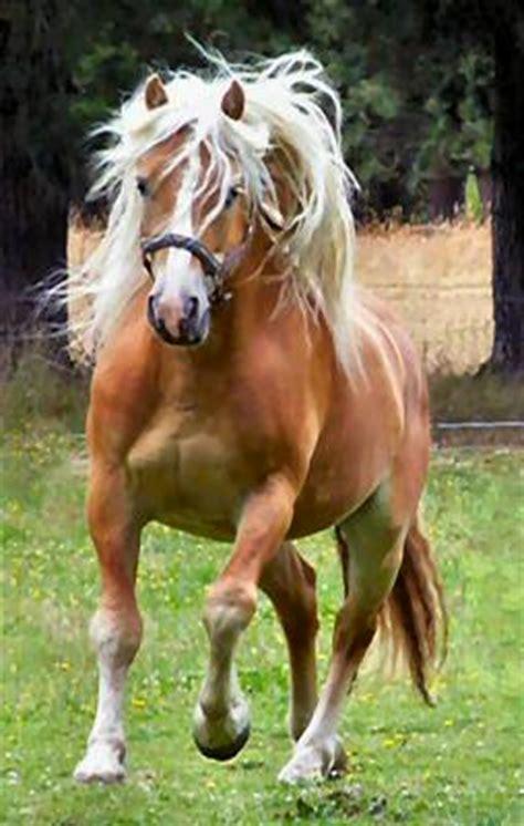 haflinger horses