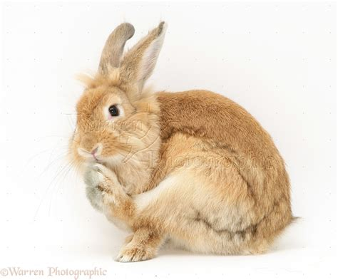 sandy lionhead dwarf rabbit grooming foot photo wp28370
