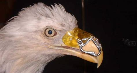 Do Eagles Shed Their Beaks myth busting the inspirational eagle rebirth story once
