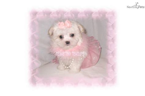 yorkie poo puppies white white yorkie poo puppies white yorkie poo puppies yorkiepoo yorkie poo puppy for