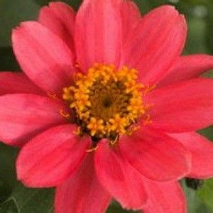 Zinnia Jazz 10benih Murah 144 best images about annuals on gardens delphiniums and 10 top