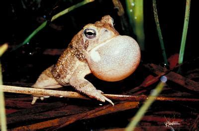 how to get rid of frogs in backyard how to rid your yard of toads their holes home guides