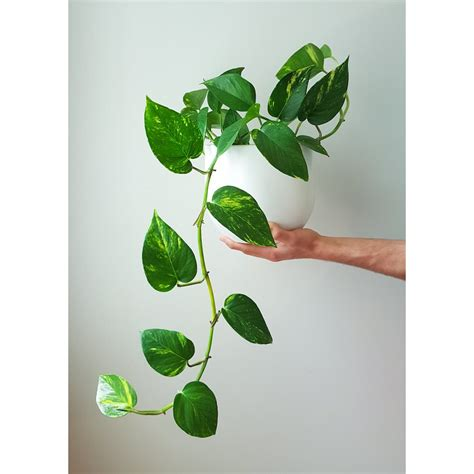 indoor vine plant 5 gorgeous indoor vines to grow in your home