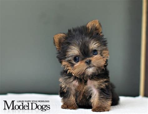 toys for yorkies yorkie terrier puppy micro dogs