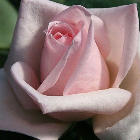 royal highness   heirloom roses, rose and flowers
