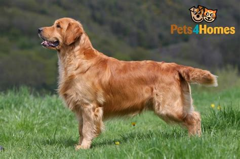 caring for a golden retriever golden retriever breed information buying advice