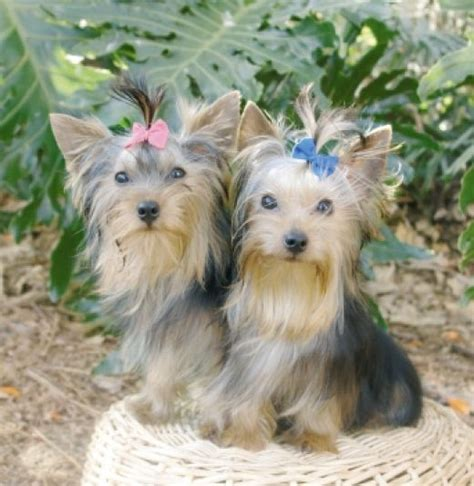 family yorkies is a yorkie the best choice for you and your family