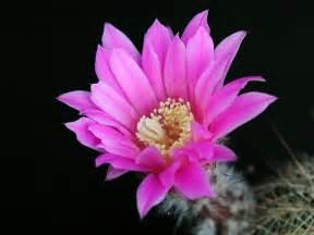 Bloomingflowers File Cactus Flower Blooming Jpg