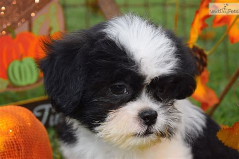 shih tzu for sale in mo gizmo quot sweetest boy black white shih tzu for sale in joplin mo