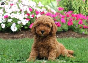 doodle puppy finder snickerdoodle goldendoodle miniature puppy for sale in