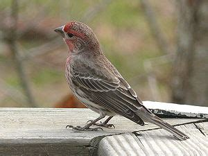 wild birds unlimited: house finches: those year round red
