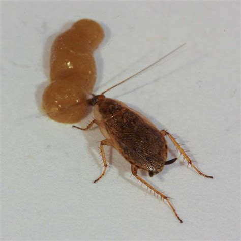 do roaches eat bed bugs methods procedures and techniques of structural pest