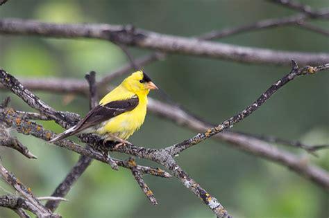 american goldfinch fantastic pet encyclopedia uk