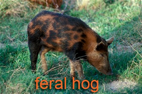ecology conservation and management of pigs and peccaries books animals parks wildlife department