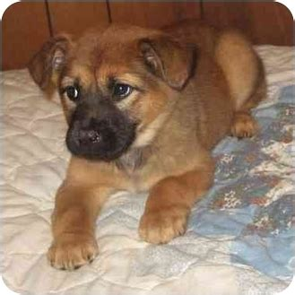 chow shepherd mix puppy australian shepherd chow chow mix for adoption in irvine images frompo