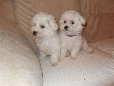 bichon puppies for sale bichon frise puppy prices