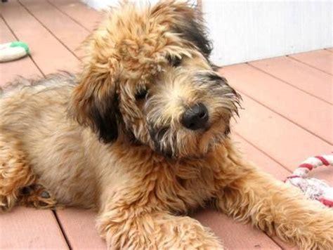 wheaten haircuts 25 best ideas about wheaten terrier on pinterest breeds