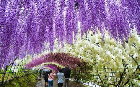 kawachi fuji gardens take a walk through japan s magical wisteria tunnels