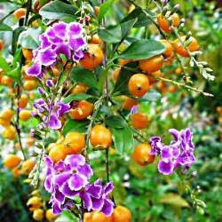 And bright orange berries in these flower pictures of the duranta