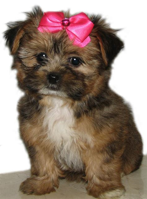 yorkie puppies mixed breed snorkie schnauzer yorkie mix info temperament puppies pictures