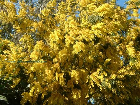 fiore mimosa immagini festa della donna mimose foto poesie eventi mostre